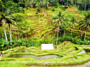 Rice Terrace Tegalalang