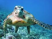 USA_Hawaii_Green-Turtle_shutterstock_107619971