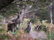 Wildlife - Blue Mountains, Kangaroos in the wild, Destination NSW