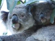 koalas-on-Phillip-Island