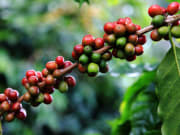 Generic_Coffee_Bean_Berry_123RF_21848008_ML