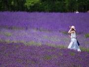 Japan_Hokkaido_Furano_Lavender_shutterstock_766551280