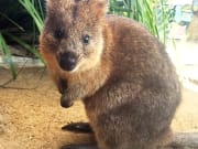Quokka at WILD LIFE Sydney Zoo_resized