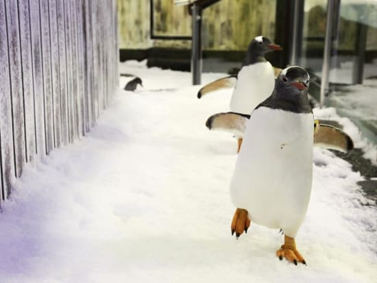 Gentoo Penguin in Penguin Expedition at SEA LIFE Sydney Aquarium 2_resized
