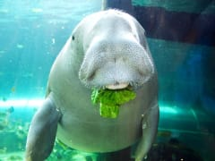 Wuru Eating Cos Lettuce at Dugong Island SEA LIFE Sydney Aquarium_resized