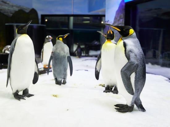King Penguins_resized