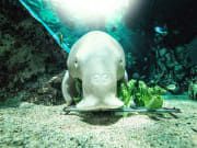 Dugong_resized