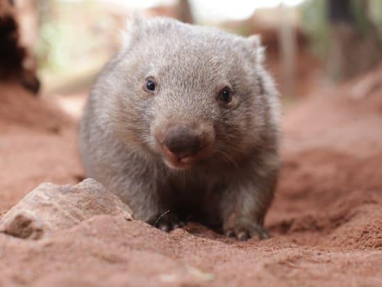 Ringo the Wombat at WILD LIFE Sydney Zoo