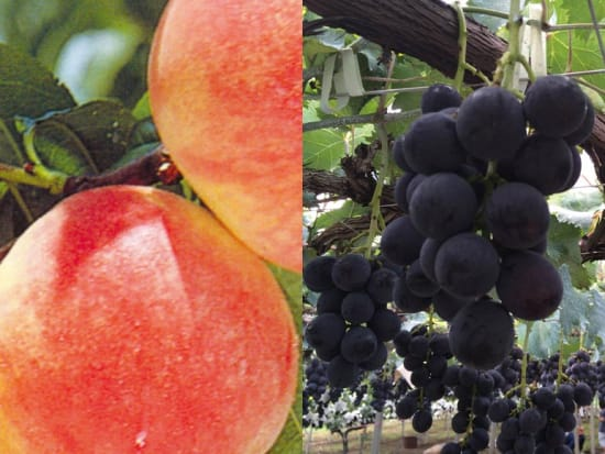 Pick and eat unlimited fruits of the season
