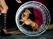 Las Vegas_Popovich Comedy Pet Theater_Dachshunds
