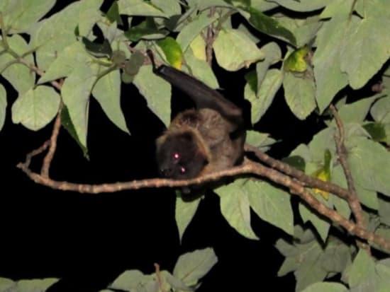 木にぶら下がるオオコウモリ