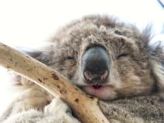 Australia_Koala_shutterstock_582368626_edited0712