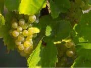 rcm-04-champagne-grapes