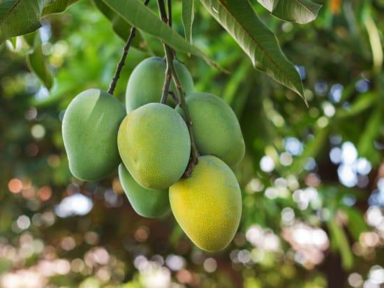 Bunch of green ripe mango on tree in garden