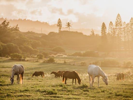 Hawaii_Oahu_Gunstock Ranch_Horses