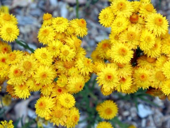 yellow wildflowers of perth western australia