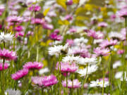 pink and white daisies perth wildflowers