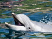 Bottlenose dolphin in Monkey Mia