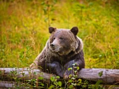 Canada_Grizzly-Bear_shutterstock_522134536