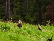 Canada_Banff-National-Park_Grizzly-bears_shutterstock_90424195