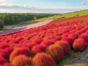 Japan_Ibaraki_Hitachi_Seaside_Park_Kochias_shutterstock_684040123