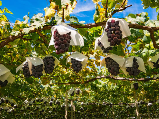 Grape picking and unlimited tastings at Yamanashi
