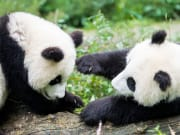 China_Sichuan_Bifengxia_Nature_Reserve_Panda_shutterstock_245393773