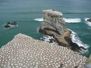 Gannets nesting site