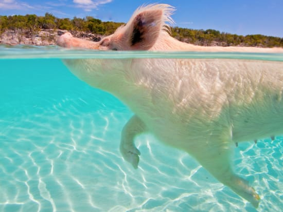 Swimming Pigs by boat for Cruise Ships (1)