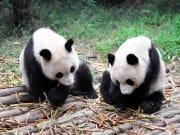 China_Shanghai_Zoo_Giant_Panda_shutterstock_38473240
