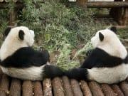 China_Shanghai_Zoo_Giant_Panda_shutterstock_45914425