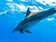 Hawaii_Oahu_Dolphin Excursions_Dolphin_1013495506