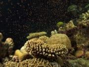 Coral spawn Teru
