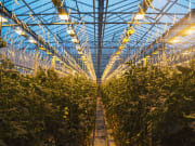 Iceland_Tomato-cultivation-farm_shutterstock_1068144623