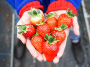 Pick luscious strawberries this winter