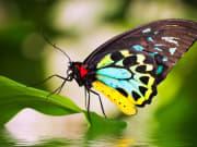 birdwing butterfly australian butterfly sanctuary