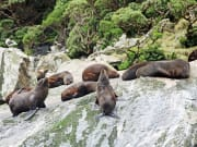 New_Zealand_Fiordland_Milford_Sound_seals_shutterstock_686370823