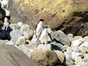 New_Zealand_Fiordland_Milford_Sound_Penguins_shutterstock_745881028
