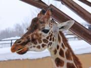 giraffe-856839_1920