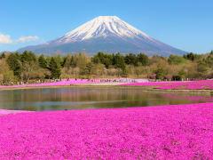 Mt Fuji surrounded by shibazakura moss phlox