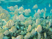 Hawaii_Maui_Kolea Charter_Reef Dancer Fish School