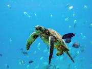 Hawaii_Maui_Kolea Charter_Reef Dancer Sea Turle