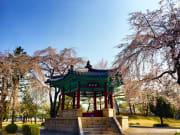 cherry blossom trees surrounding pagoda korea
