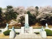cherry blossom trees near memorial korea spring