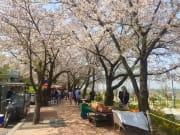 street vendors spring south korea cherry blossom