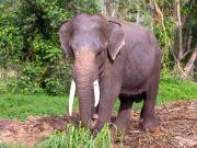 Koh Phangan Safari Elephant eating grass