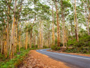pale barked karri trees of boranup forest