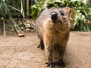 Animal_Quokka