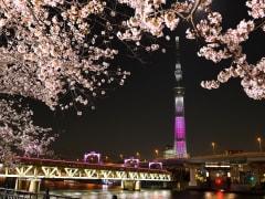 TREE_桜_特別ライティングと桜(過去の様子)