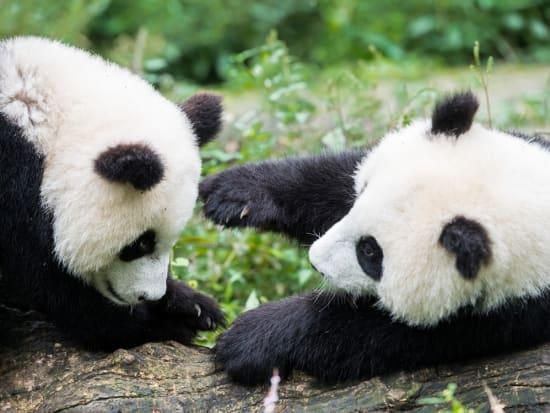 China_Sichuan_Bifengxia_Nature_Reserve_Panda_
